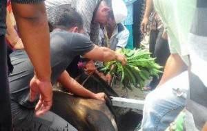 Warga KKTP yang ada di kota Tanjungpinang terlihat solid dan bahu membahu dalam melakukan kegiatan pemotongan Qurban dihari Idul Adha ke 1436 H, (24/09).