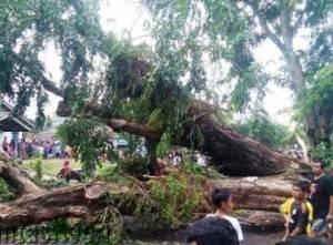 Inilah Pohon Yang Tumbang Di Jalan Wiratno.