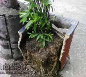 Inilah Pot Tanaman Jenis Bambu Cina yang Rusak Tak Terawat
