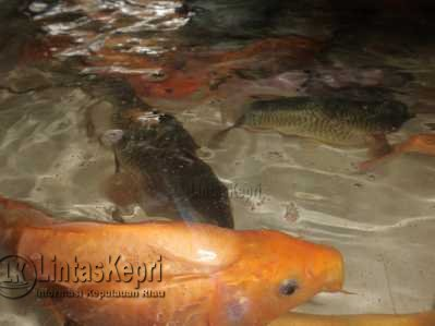 Ikan Mas Segar dagangan Ibu Viomas dan Bapak Sipayung